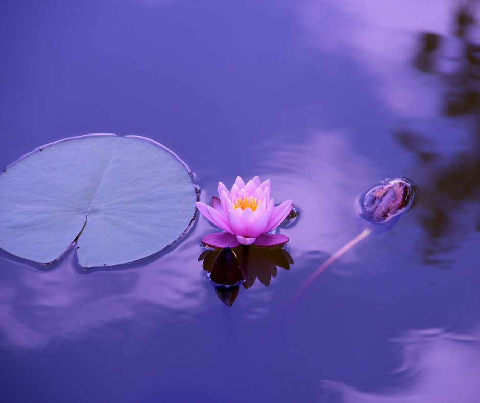 lotus and lily pad